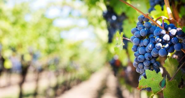 Kontrollierter Integrierter Weinbau